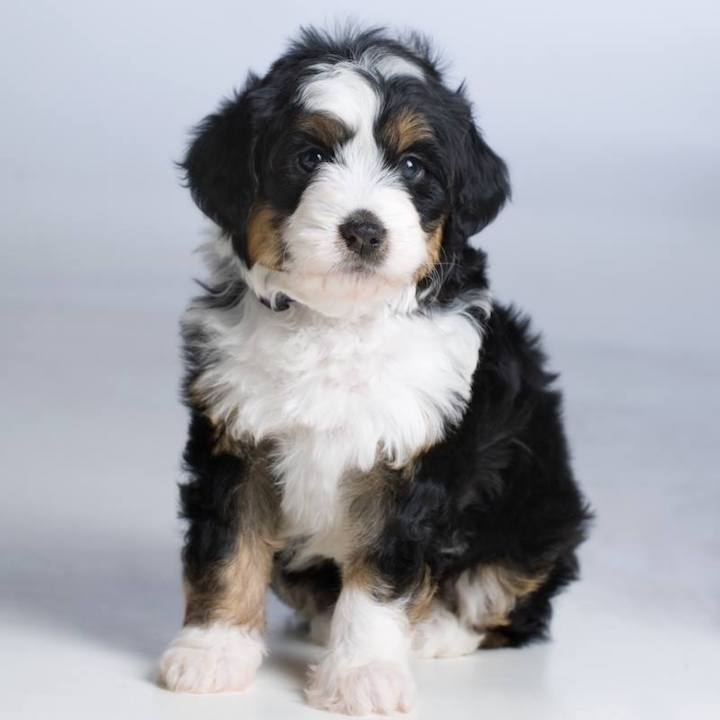 Teddy Bear Bernedoodle Rocky Mountain Bernedoodles