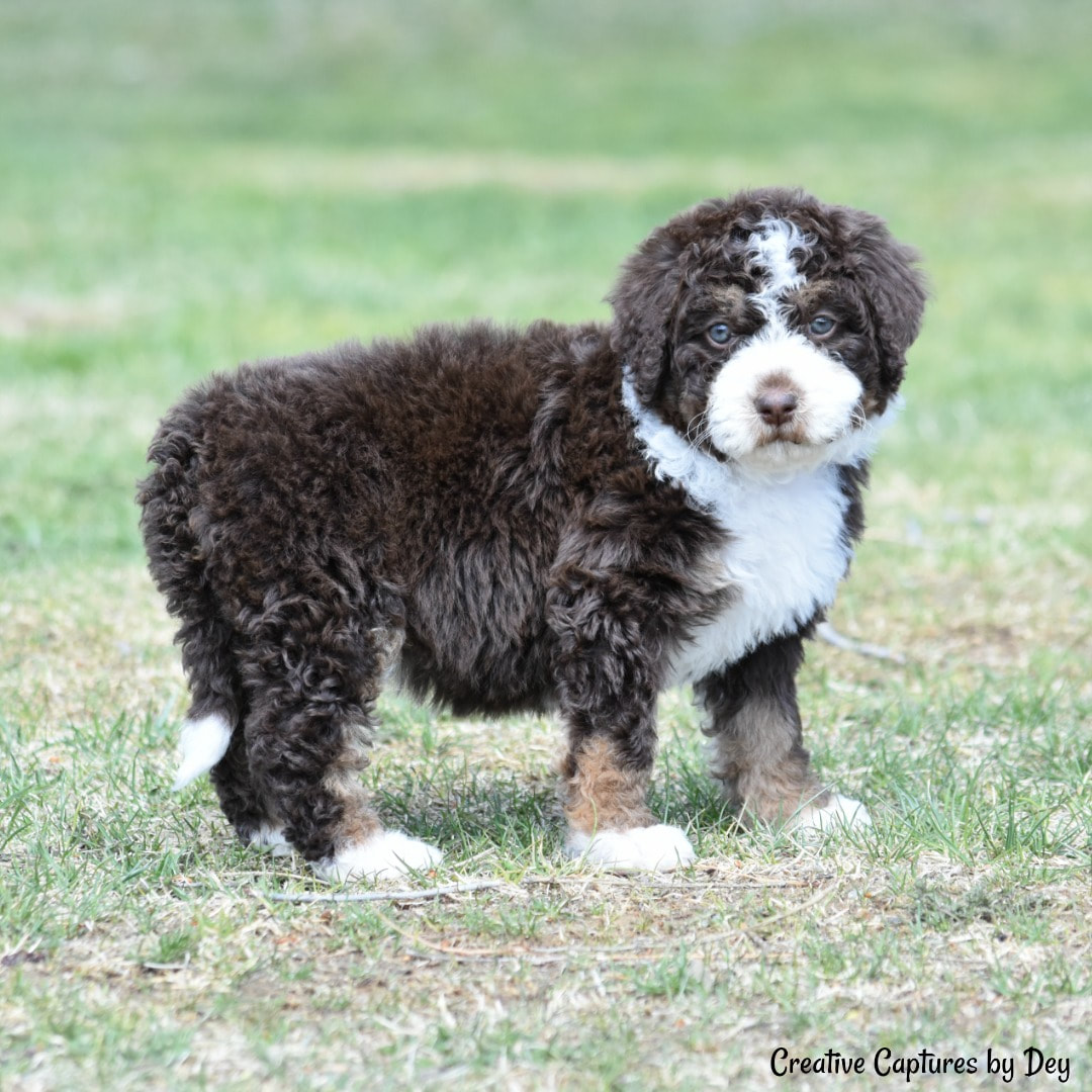 About Bernedoodles Bernese Mountain Dog Rocky Mountain